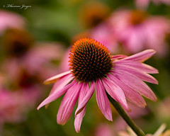 The Standout 0721 Copyrighted (Tjerger) Tags: nature beautiful beauty black bloom blooming closeup coneflower flora floral flower garden green macro orange pink plant single summer white wisconsin standout natural