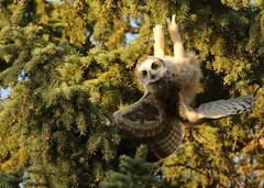 Batman in training... (Guy Lichter Photography - 3.5M views Thank you) Tags: greathornedowl owls owl birds bird animals animal wildlife winnipeg manitoba canada 5d3 canon