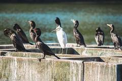_MG_9948 (Michael Christian Parker) Tags: ibirapuera sãopaulo pássaros garça wild vidaselvagem photography natureza