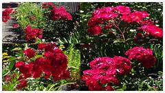 Red Rose (pat.bluey) Tags: redrosebush mygarden newsouthwales australia 1001nights collage 1001nightsmagiccity 1001nightsmagicgarden