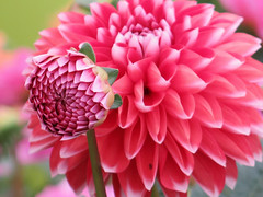 Have a beautiful dahlia, bud ... :-)) (☜✿☞ Bo ☜✿☞) Tags: dahlia flower plant garden outdoor yard backyard petal nature canong16 powershot macro bokeh closeup colourful red white pink green colour england britain uk europe european bud august summer2017