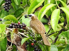 Eating berries (tanreineer) Tags: color tree berries leaves fruit alone eat feathers wing bird philippines nikonp900 bulbul