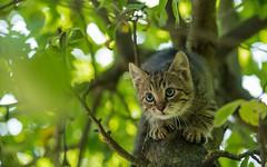 kittens (47) (Vlado Ferenčić) Tags: catsdogs cats kitty kittens zagorje vladoferencic hrvatskozagorje vladimirferencic hrvatska croatia animalplanet animals nikond600 nikkor8020028