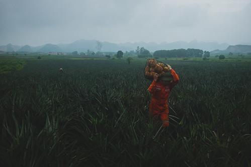 Harvesting pineapples
