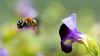 Blue-Banded Bee or Amegilla Cingulata... searching for honey (shoyeb anwarul azim) Tags: macro bluebandedbee amegillacingulata garden dhaka gulshan bangladesh nature honeyhunter flower summer bee