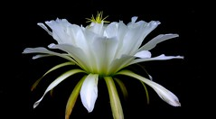 Echinopsis spachiana (☮ Montse;-))) Tags: echinopsis cactus cactaceae echinopsisspachiana botánico flora cumple moni