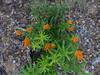 P1220063 (eleanord43) Tags: butterflyweed holdingpondjuly2416 milkweedgarden