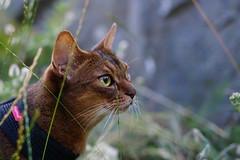 Strolling around (DizzieMizzieLizzie - Off for a while) Tags: abyssinian aby beautiful wonderful lizzie dizziemizzielizzie portrait cat chats feline gato gatto katt katze katzen kot meow mirrorless pisica sony a6500 animal pet 2017
