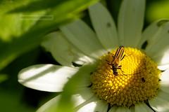 D3X_0581_fl (dmitrytsaritsyn) Tags: bug nikon r1c1 105mm d3x