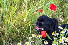 Зверушки 0407 (2016.06.01) (vladsky78) Tags: ильичёвск животные зелень цветы поле собака