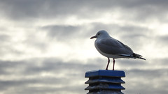 Lonely Seagull (Theen ...) Tags: blue clouds grey hobart lonely lumix perched post sky stormy theen waterfront white
