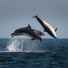 Triple (Ginger Snaps Photography) Tags: dolphin triple breach sea chanonry wild wildlife nature moray firth