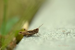 Listen to me... (Maria Godfrida) Tags: 7dwf fauna animals grasshopper insect green closeup macro tamron nikon blur