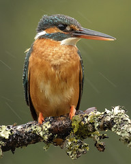 Kingfisher (female) (peterspencer49) Tags: peterspencer peterspencer49 kingfisher rain bird
