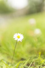 A Daisy And Bokeh (happad fotografie) Tags: buttercup bokeh green flower dof nikkor nikon d610 2470 groen bloem bloempje boterbloem