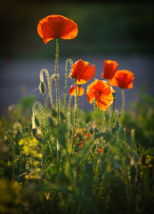 Backlit Poppy (Matt Bigwood) Tags: poppy poppies sonya6000 sony50mm18 ozleworth gloucestershire sunset summer landscape flowers backlit contre jour depthoffield 18