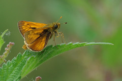 IMGP6848a Large Skipper, Lackford Lakes, July 2017 (bobchappell55) Tags: lackfordlakes suffolk wildlife nature reserve trust wild butterfly insect skipper lsrge