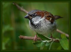 Spatz (Sakerfalke) Tags: sakerfalkefotografie sperling spatz bird feder fliegen rahmen