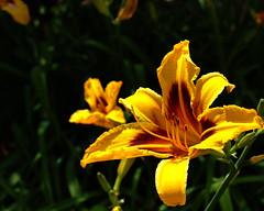 Summer sun on flower (Harrpu) Tags: stamen fertile summer sunny flower