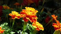 Oeillet d'Inde (bernard.bonifassi) Tags: bb088 06 alpesmaritimes 2017 juillet nice nissa gairaut jardin fleur macro counteadenissa