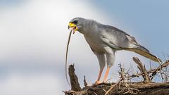 Tsavo East-9374 (ovg2012) Tags: easternpalehantinggoshawk kenia kenya stripedbarksnake tsavowestnationalpark
