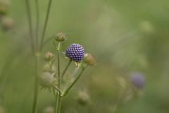 Serenity (hehaden) Tags: plant garden flower sussexprairies sussexprairiegarden henfield sussex sonnart18135 amount nature