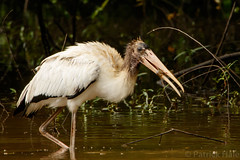 Wood Stork (patrickhale7173) Tags: wood stork wadingbird bird white marsh mud flat nature arkansas wildlife