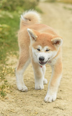 Yasuhime ❤ (stphanielegay) Tags: yasuhime akitainu nikond7200 50mmf18d nature dogphotography mydog nikon