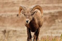 Bighorn Sheep. Badlands National Park, SD, U.S.A. (Jeffrey Jang Photography) Tags: bighornsheep oviscanadensis ram badlandsnationalpark southdakota unitedstatesofamerica us animal mammal nature naturephotography nikon wildlife wildlifephotography jeff jeffrey jang jeffreyjangphotography m160662016