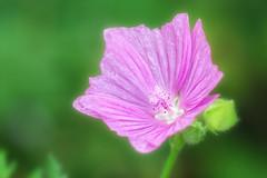 Floral Life (Michael A64) Tags: flower floral planze blume natur nature colors d7100 85mm18 kenko extension tube botanik botany nikon makro