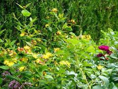 2017 Germany // Unser Garten - Our garden // im Juli // Johanniskraut (maerzbecher-Deutschland zu Fuss) Tags: 2017 garten natur deutschland germany maerzbecher garden unsergarten juli johanniskraut