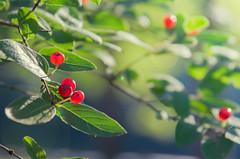 Growing Wild (DaveLawler) Tags: wild red berries tree park spencer massachusetts howe green dof flare flora