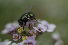 20170702_Jardins_Secrets_Vaulx_Fl (12 sur 20) (calace74) Tags: rhonealpes fleur france insectes jardin jardinssecrets macro vaulx