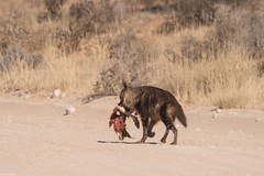 On the run... #2 (Pim Stouten) Tags: hyena bruinehyena brownhyena strandwolf hyaenabrunnea parahyaenabrunnea schabrackenhyäne kgalagadi kalahari prooi prey kill