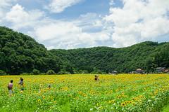 君田のひまわり畑 (hs_8585) Tags: k3ii da1650mmf28 pentax hiroshima miyoshi flower 広島 三次