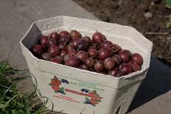 Gooseberry harvest (dididumm) Tags: garden gooseberry harvest harvesttime erntezeit ernte stachelbeere stachelbeeren garten