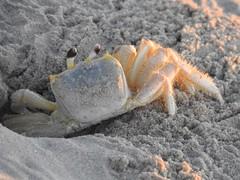 4731ex  macro Ghost Crab at sunrise (jjjj56cp) Tags: crab ghost ghostcrab arthropod crustacean wildlife inthewild atlantic atlanticghostcrab beach sand sandy shore coast coastline macro closeup portrait p900 sunrise jennypansing eyegleam