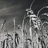 Wheat field in Black & White - Weizenfeld in Schwarz-weiß (anubis131) Tags: heikefreudenberger freudenbergerpiller anubis1301 iphone7plus schwarzweis bw blackwhite nature natur himmel sky summer sommer getreide weizenfeld fieldofgold wheat wheatfield