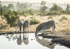 Zebras Have a Misty Morning Drink in Kruger National Park (hpfkPhoto) Tags: animals zebra zebras lake pond water watering hole puddle africa african kruger national park south safari nature savanna savannah mist misty morning thirsty thirst black white beauty beautiful wildlife mammals mammal prey hunt
