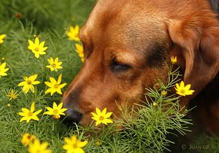 Lukey - Bloodhound, Basset Hound