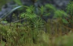 petit monde de verdure (bulbocode909) Tags: valais suisse valdanniviers forêts souches vert mousse montagnes nature