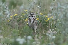 Burrowing Owl (mobull_98) Tags: burrowingowl owl