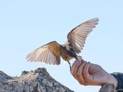 Un manso gaucho serrano (Jose Lozada Naturaleza (Argentina)) Tags: parquenacionalquebradadelcondorito salvaje wild natgeo pájaro naturaleza nature gauchoserrano pajaro bird ave