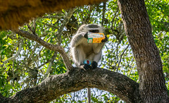 Monkey Steals Juice for an Afternoon Drink in a Tree (hpfkPhoto) Tags: monkey tree monkeys drink drinking africa south kruger national park steal stole stolen juice orange tail fur furry primate chimp penis red balls testicles genetalia