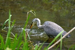 Gotcha (ttbeep) Tags: yorkshirewildlifetrust adeldamnaturereserve nikon70300edvr nikond7100 gotcha feeding asnack bigbirds