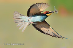 bee-eater in flight #5 (edoardo.gobattoni) Tags: color bird nature bright flight animal fly little wildlife one outdoors wing wild feather predator beak migration avian birdwatching ornithology bee eater gruccione noperson