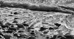 sauvage.... (peu présente...ailleurs !) Tags: lacôtesauvage quiberon océan bretagne chien vagues