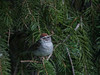 Bruant familier/Chipping sparrow  23072017-_PM17035 (michel paquin2011) Tags: rouge bruant familier