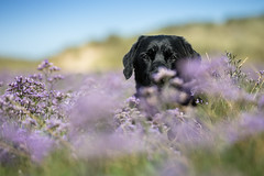I see you! (Marcus Legg) Tags: marcuslegg max black blacklabradorretriever bokeh beach dunes labrador lab retriever dog pet outdoors outside shiny fur canon eos 1dx ef70200mmf28lisii flowers dogs animal coast green handsome