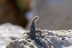 Looking back (Rico the noob) Tags: dof bokeh cyprus 2017 published reptile outdoor nature d500 lizard 70200mm 70200mmf4 eye closeup animals animal